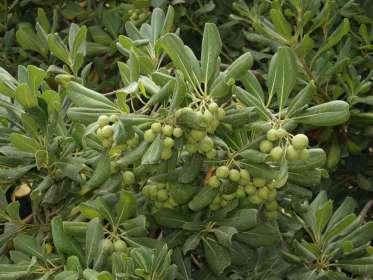 Pittosporum tobira, normalean Txinako blossom laranja gisa ezaguna