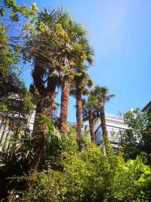Poda de palmeras en Donostia