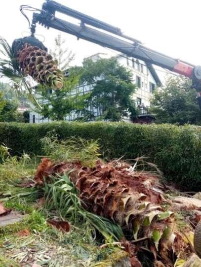 Tala-de-palmeras-Gros-5