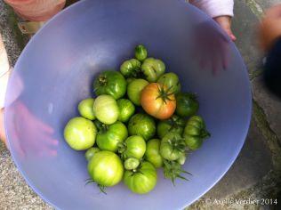 récolte d'automne des tomates sauvages