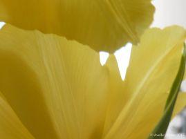 voile de tulipe sensible