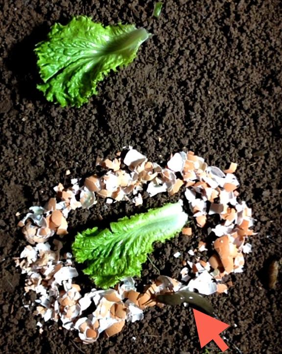 Attention : les coquilles d'œufs ATTIRENT les limaces! – Jardinier paresseux