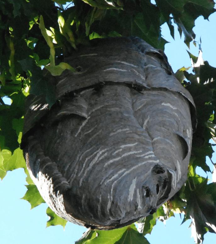 Parfois le nid de guêpes est bien visible, mais souvent il est caché.