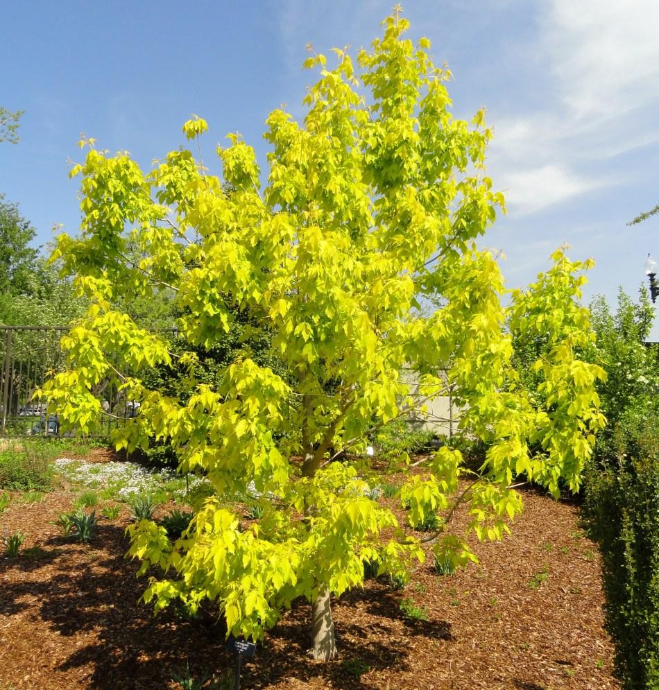 Acer_negundo_'Kelly's_Gold'_-_United_States_Botanic_Garden_-_DSC09477