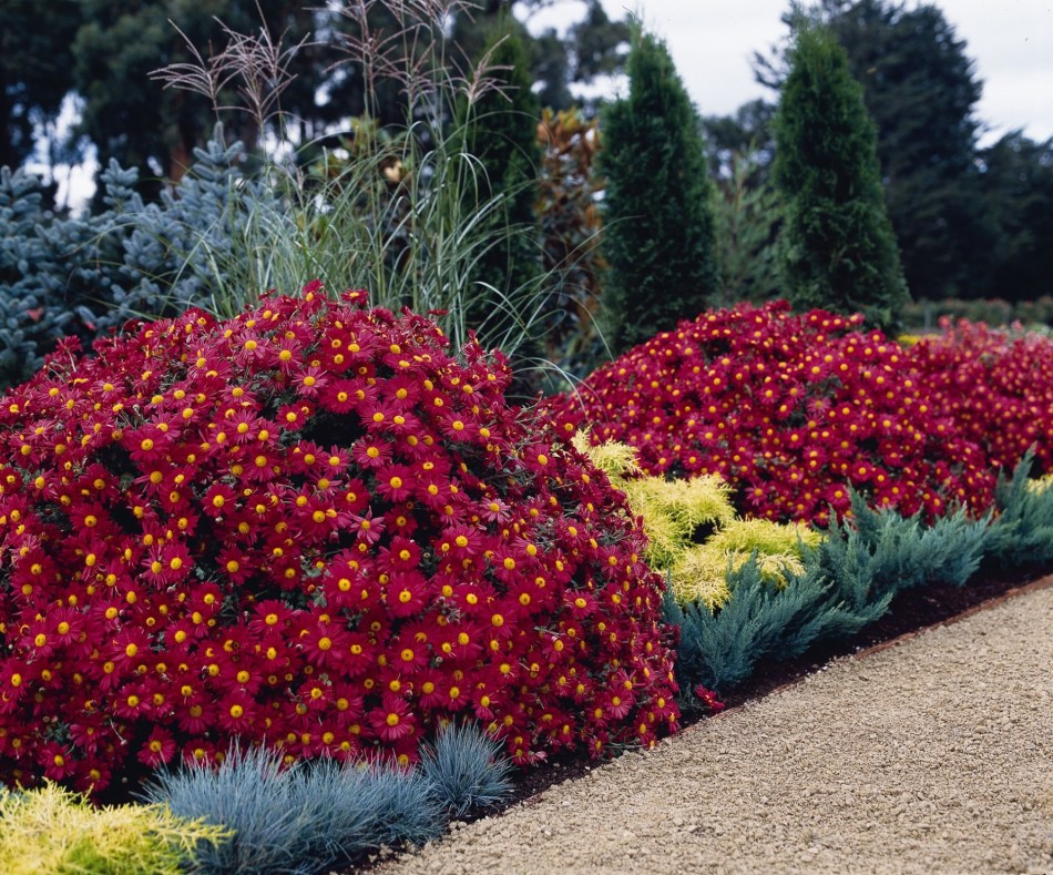 20170911B Mammoth Red Daisy Ball Horticultural Company