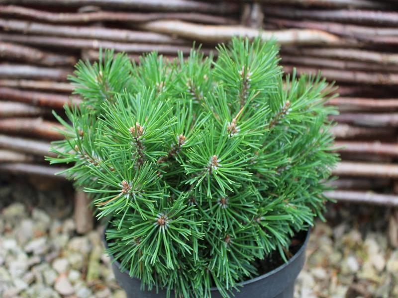 20171018D Pinus mugo 'Mops Midget' ashwoodnurseries.com.jpg