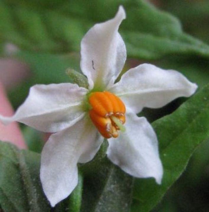 20171226B Solanum pseudocapsicum altervista.org.jpg