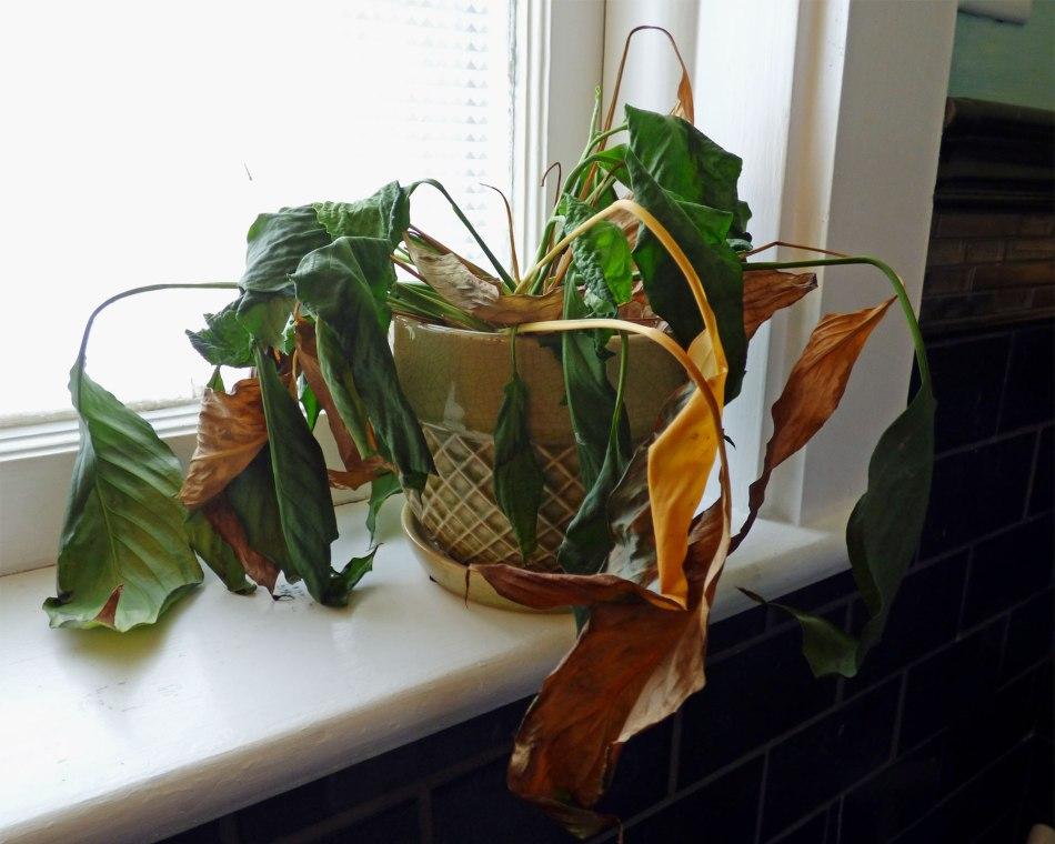 20180127A Spathiphylium www.gardeningknowhow.com.jpg