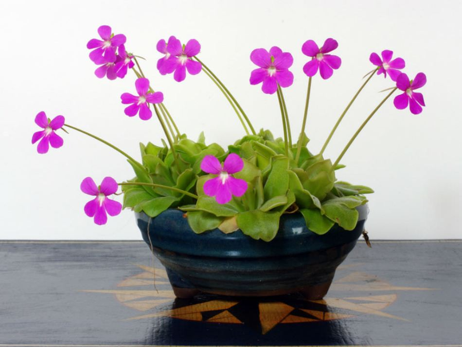 20180202B Pinguicula moranensis worldofsucculents.com.jpg