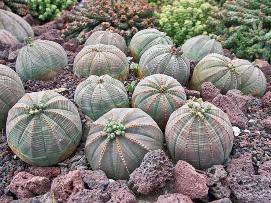20180725L Euphorbia-obesa worldofsucculents.com.jpg
