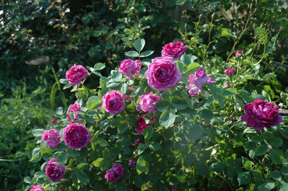 20190722E Reine des Violettes, pinterest.fr.jpg