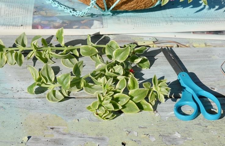 Boutures de ficoïde Mezoo, ciseaux, feuillage panaché vert et blanc