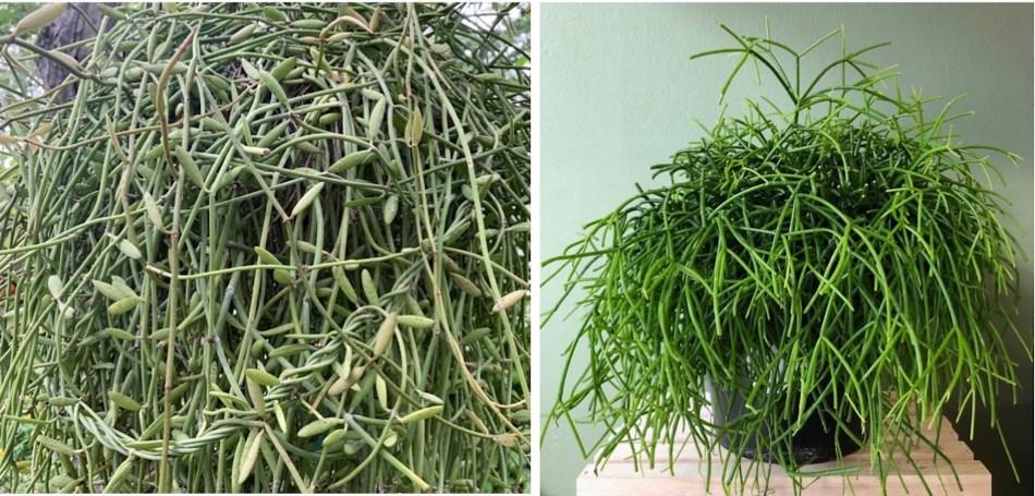 Dischidia albida, longues tiges entremêlées, feuilles tubulaires grisâtrs et cactus-gui Rhipsalis baccifera, tiges comme des spaghettis verts