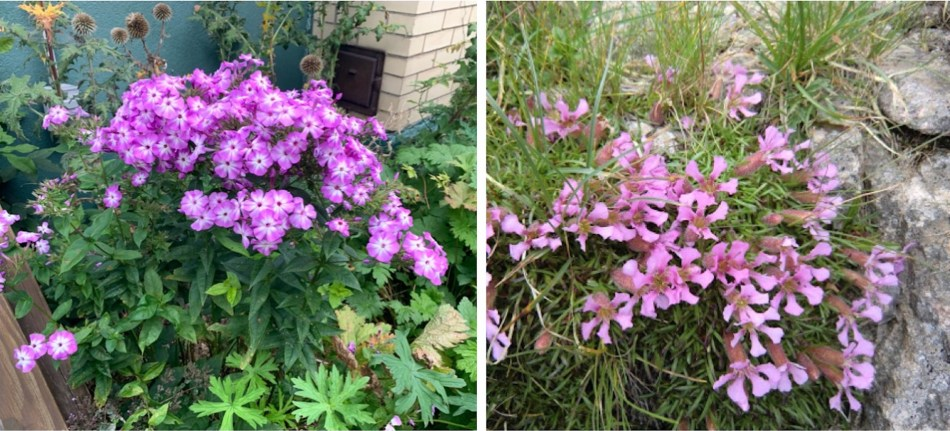 Deux plantes à fleurs roses: phlox des jardins (Phlox paniculata) et Saponaria caespitosa