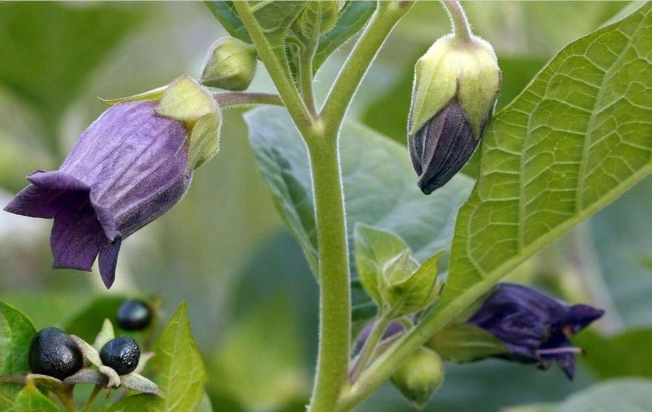 belladone (Atropa belladonna), fleur campanules pourpre, fruits noirs