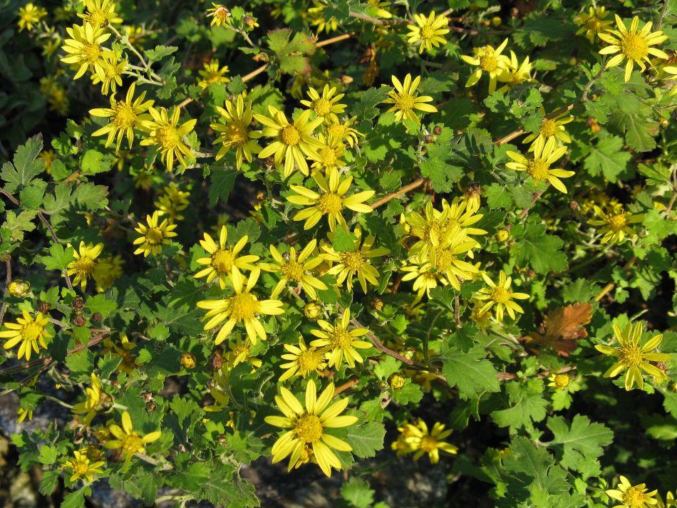 chrysanthème de l'Inde (Chrysanthemum indicum). Petites marguerites jaunes à oeil jaune, feuilles vertes découpées