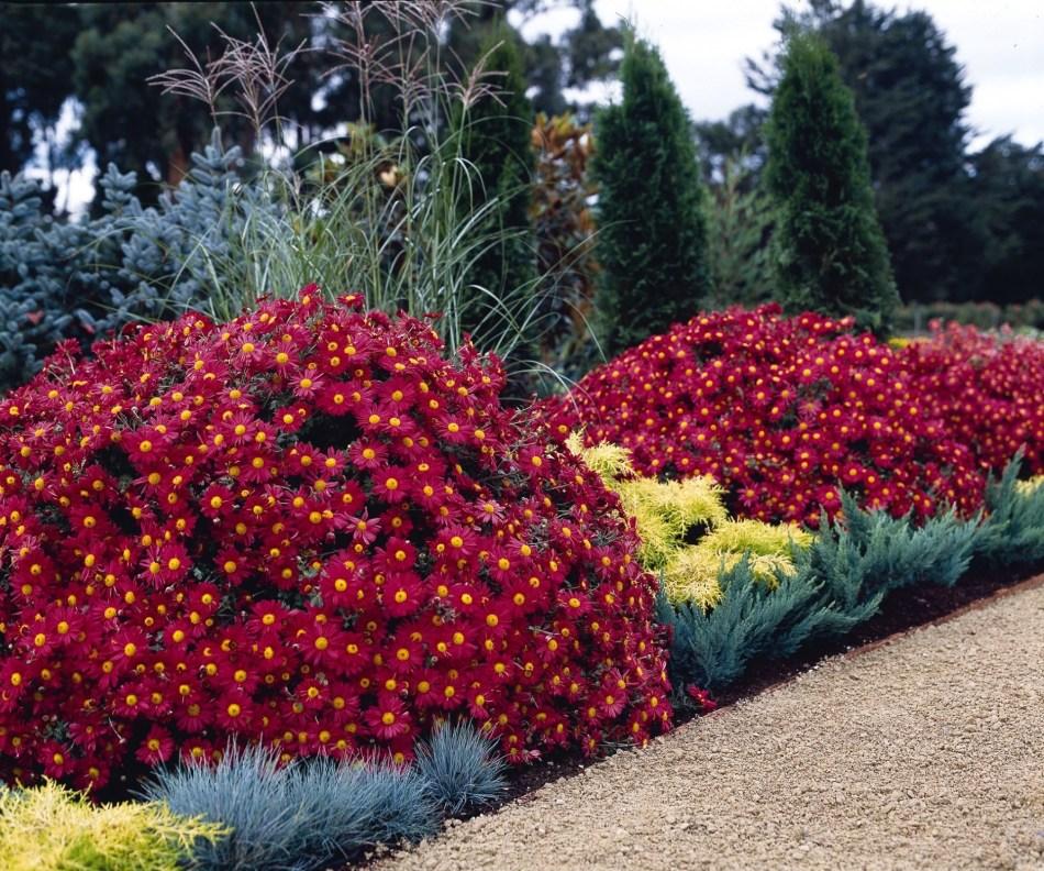 Plate-bande avec énormes dômes de marguerite Mammoth Red Daisy, marguerites rouge sombre à oeil jaune