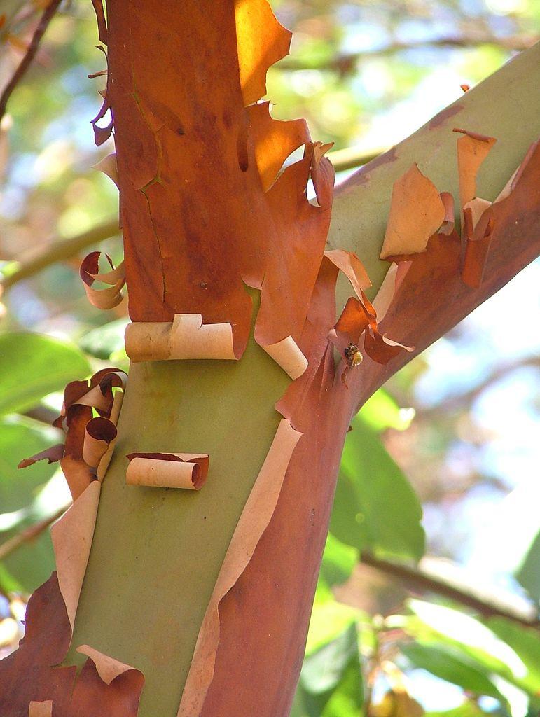Écorce d'arbousier d'Amérique (Arbutus menziesii) rouge et verte.