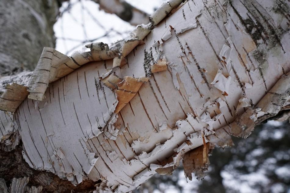 Écorce du bouleau à papier (Betula papyrifera): blanche, exfoliées, lenticelles noires