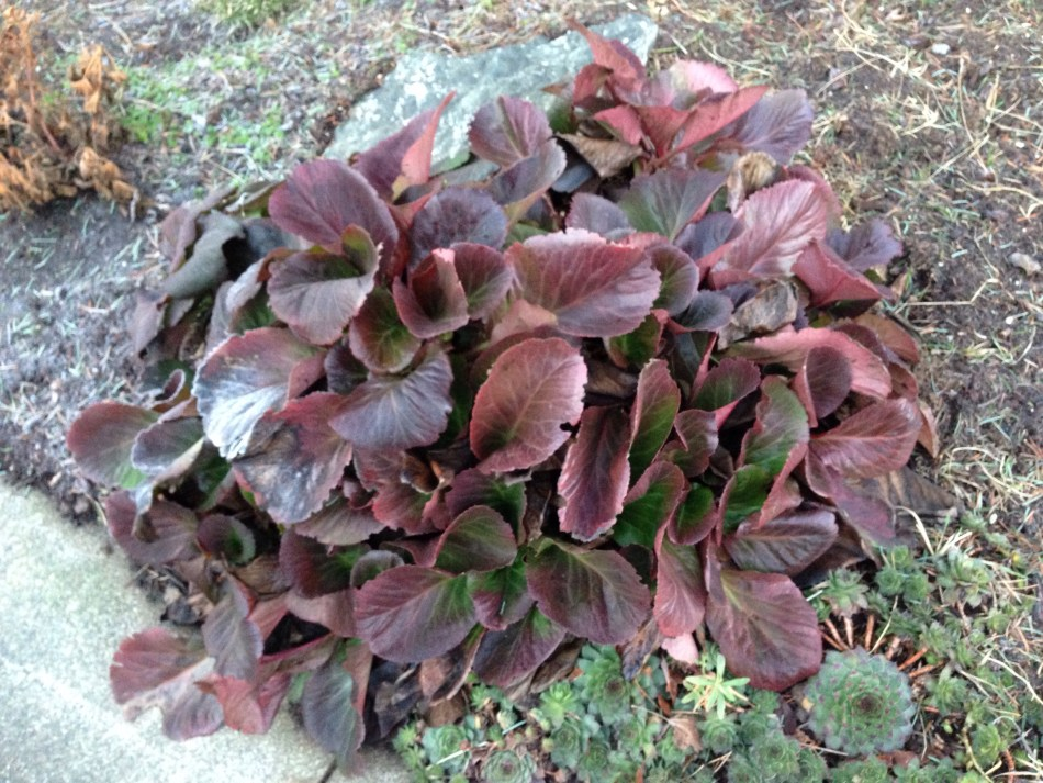 Bergenia 'Bressingham Ruby', coloration hivernale pourpre