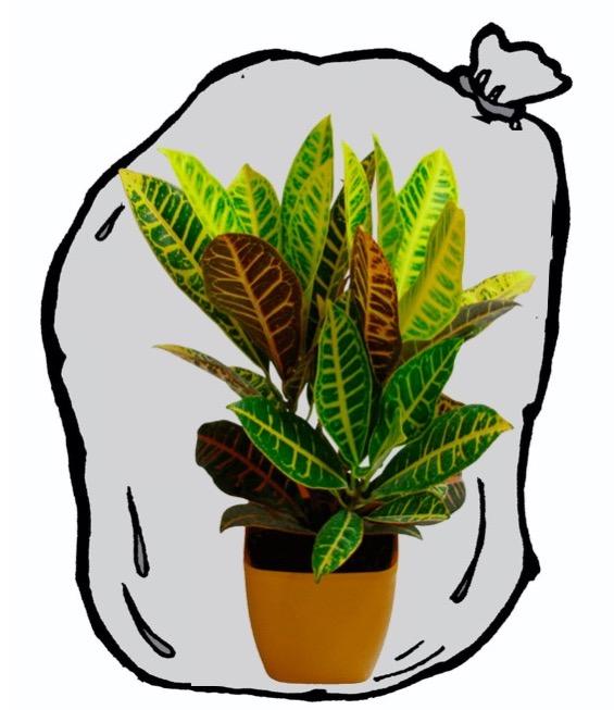 Croton enfermé dans un sac de plastique transparent