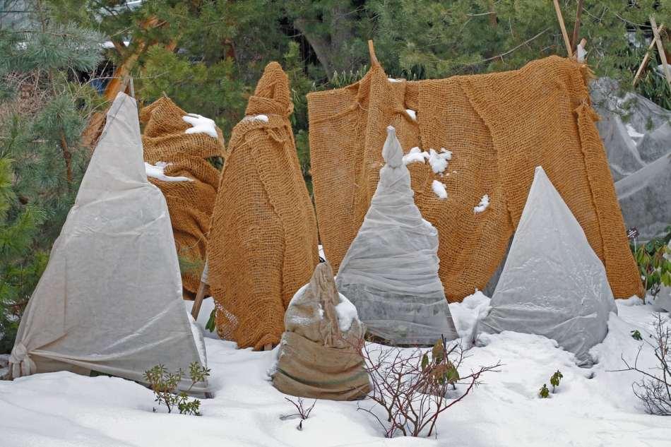 Arbustes emballés comme des momies pour l'hiver