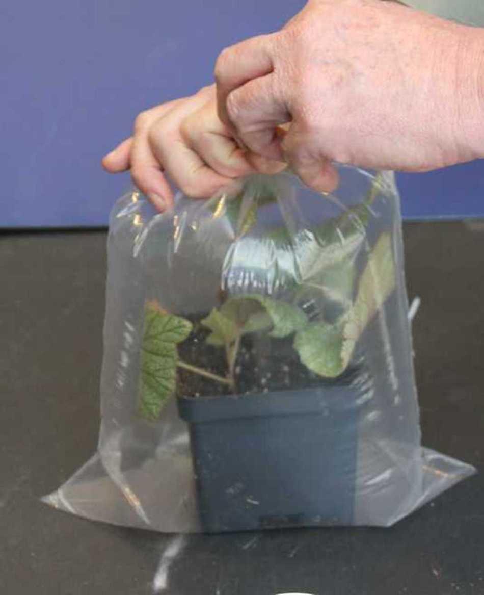 Main qui ouvre un sac transparent contentant une bouture.