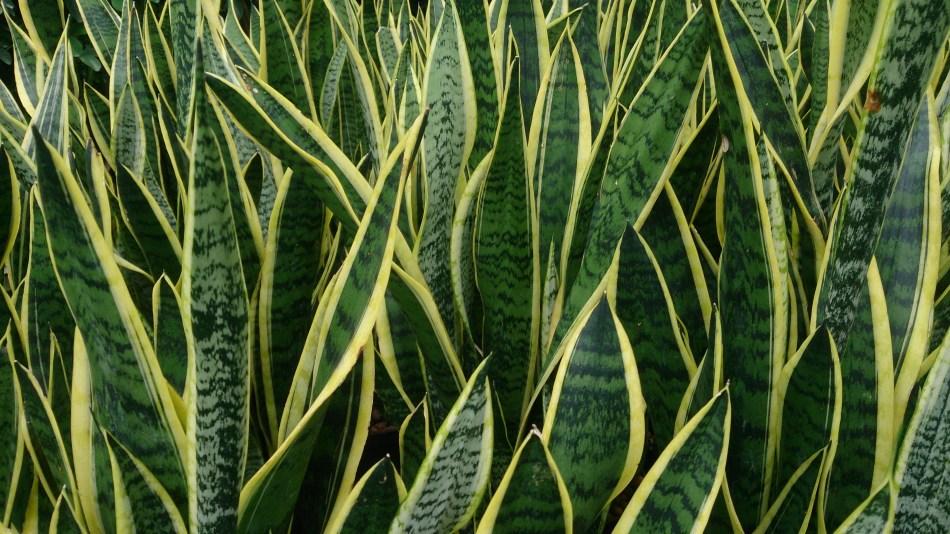 Sansevieria trifasciata 'Laurentii', aux feuilles marginées de jaune