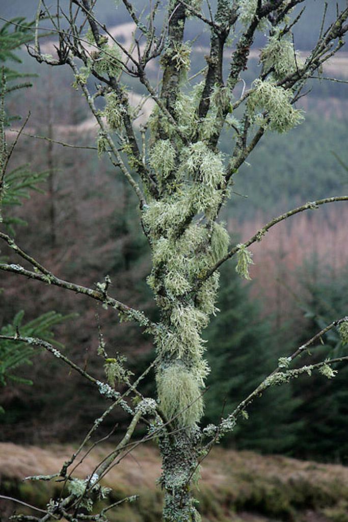 Arbre très couvert de lichens.