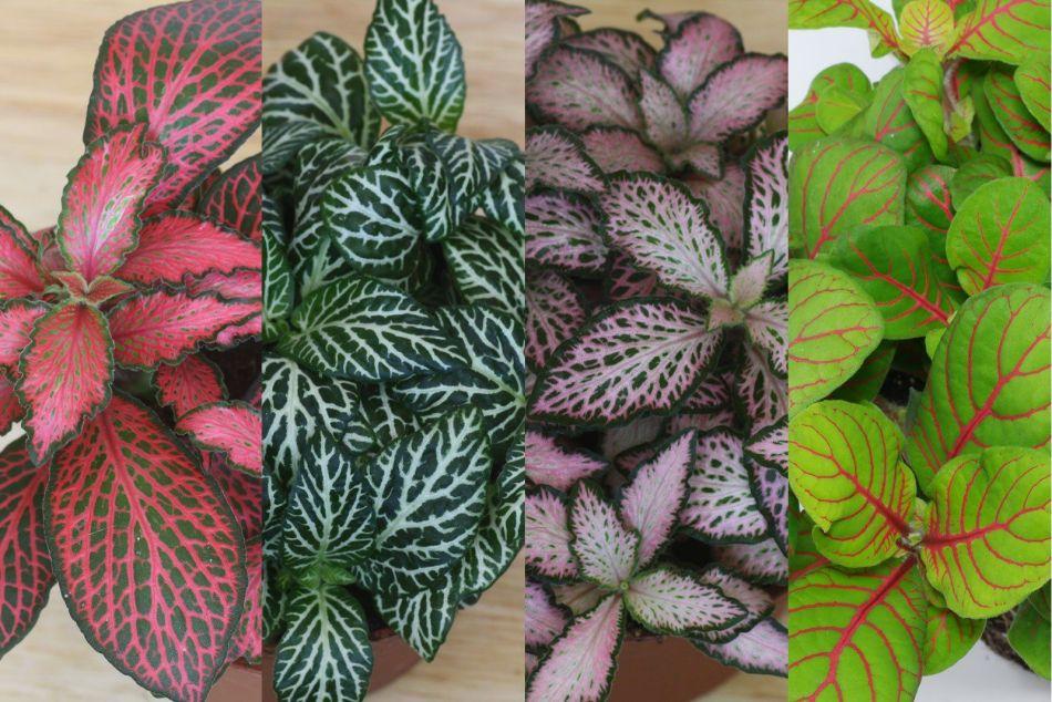 Fittonias de différentes couleurs.