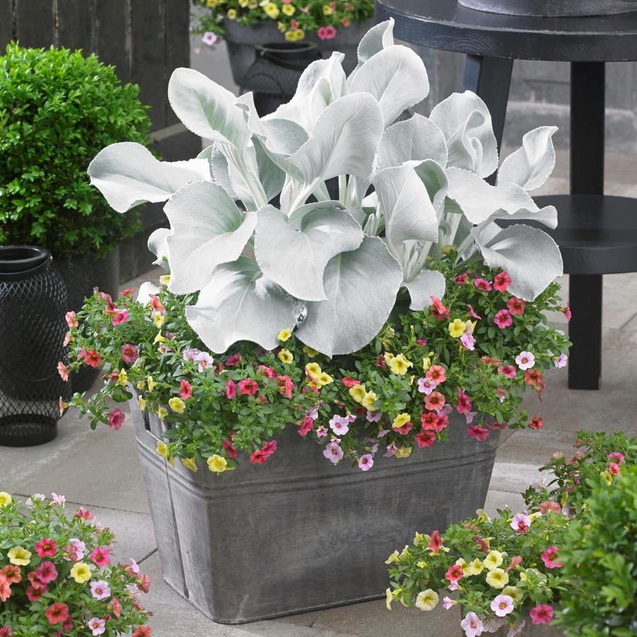 Séneçon blanc (Senecio candicans 'Senaw').
