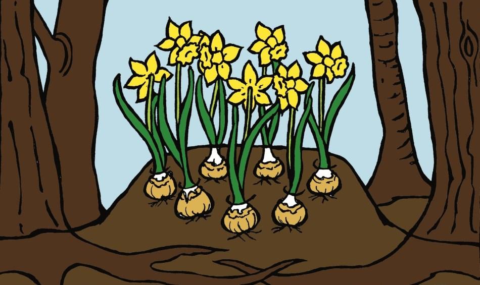 Narcisses qui fleurissent sur une butte.