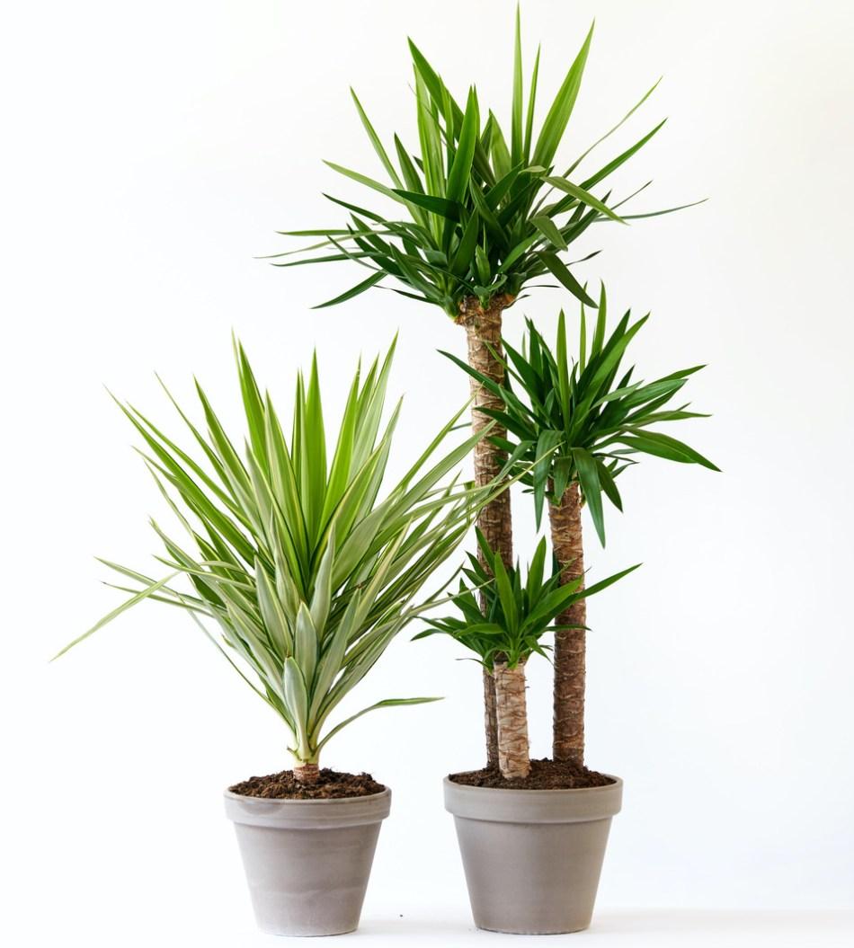 Deux formes différentes de yucca sans épine: sans tronc et tronc avec plusieurs ramifications