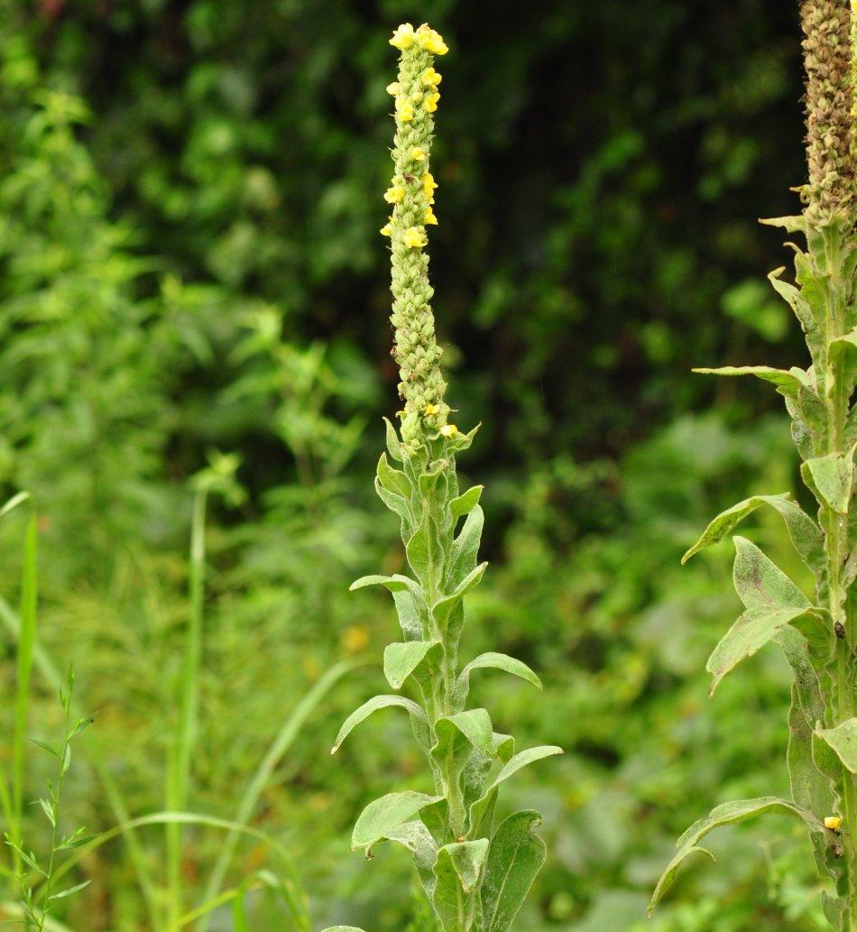 Tige florale de la molène commune avec petites fleurs jaunes.