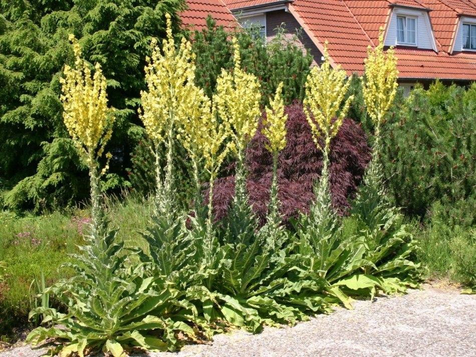 Ligne de Molènes olympiques avec abondantes fleurs jaunes
