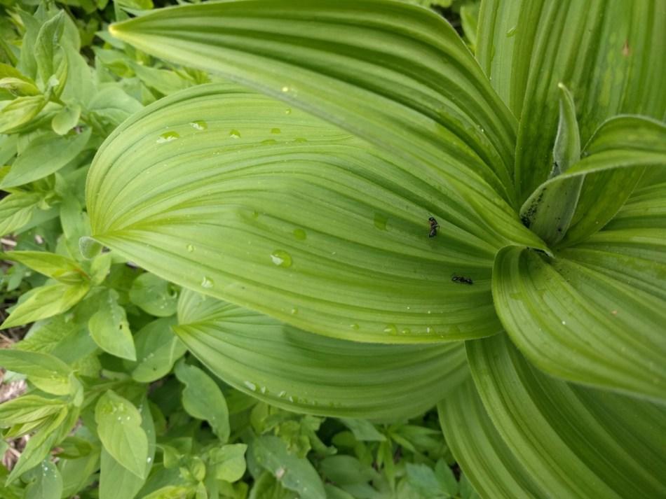Grandes feuilles plissées de Vérâtre verte