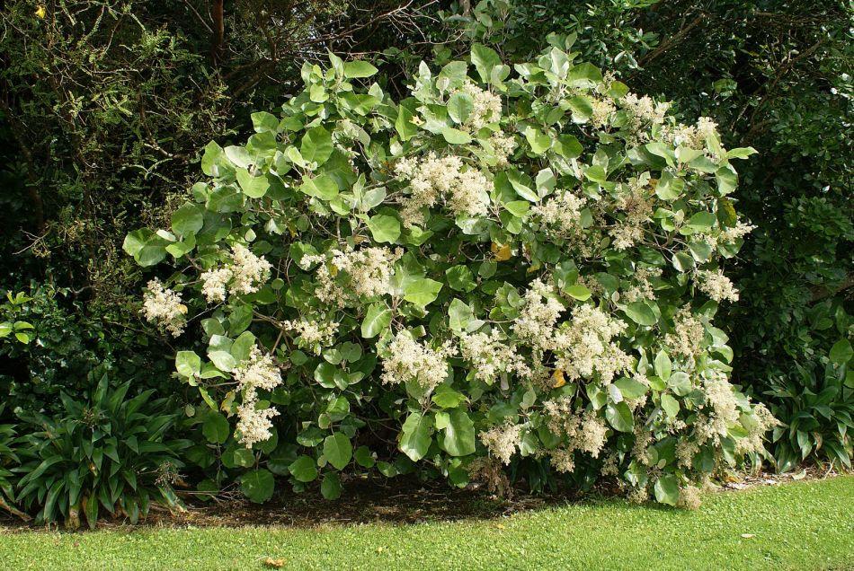 Brachyglottis repanda portant des fleurs blanches.