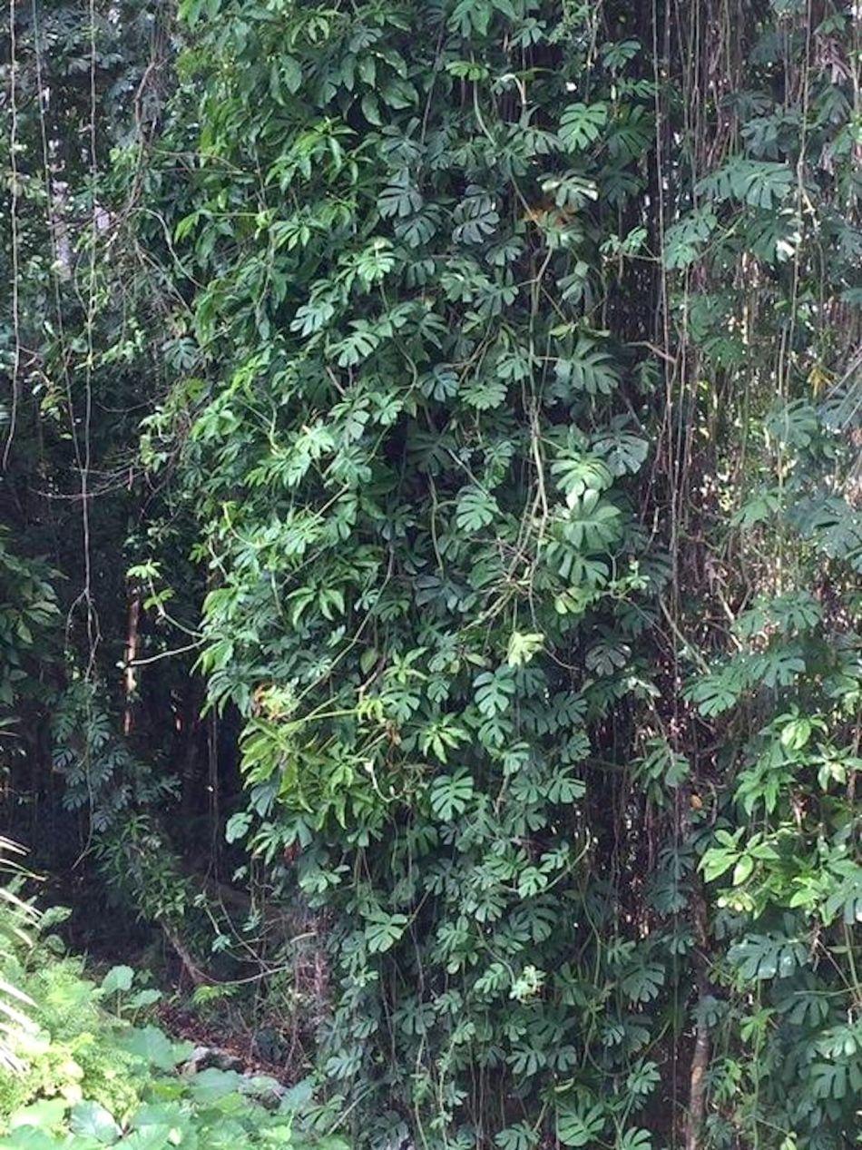 rhapidophora adulte dans une jungle.