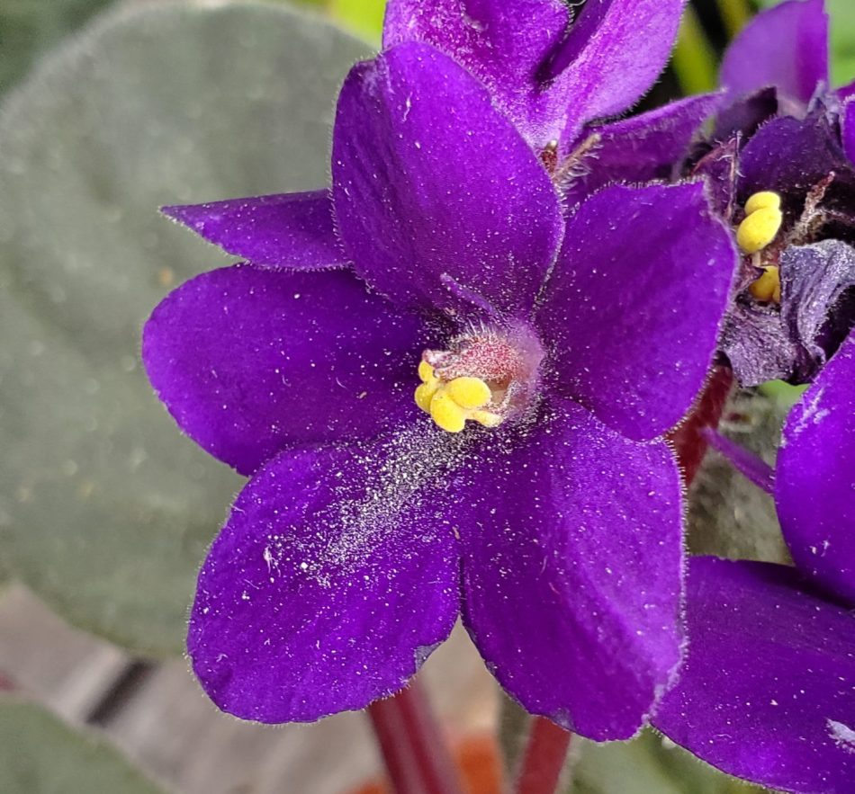 Du pollen sur les pétales d'un saintpaulia causé par des thrips