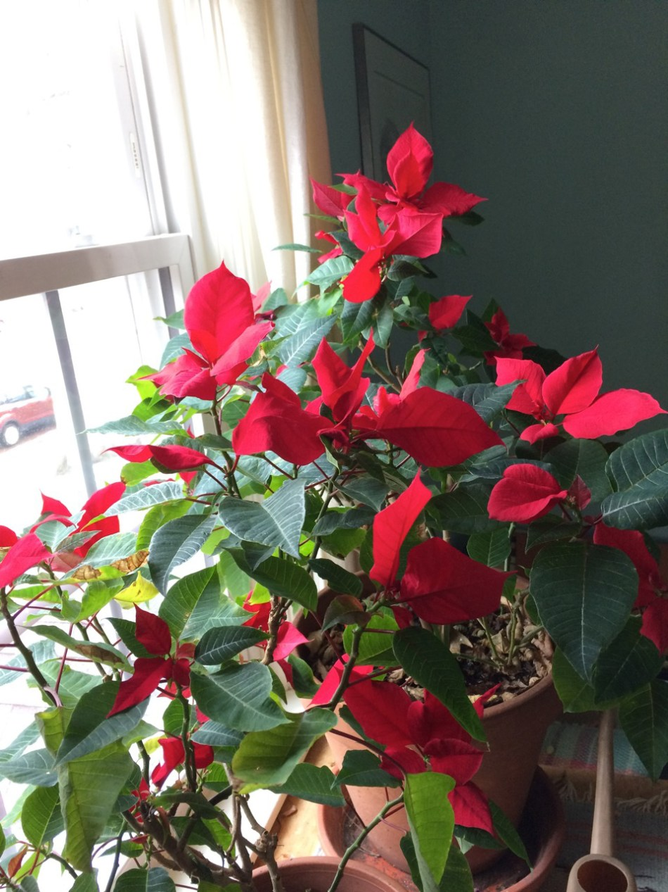 Poinsettia près d'une fenêtre