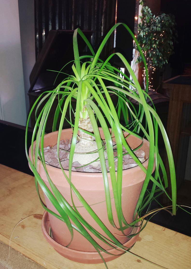 Beaucarnea étiolé avec feuilles vert pâles et affaissées.