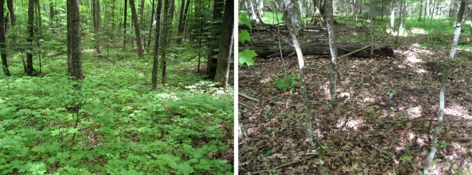 Deux photos, une montrant une forêt couvrerte de végétation (avant les vers de terre) et l'autre, presque vide (après les vers de terre).