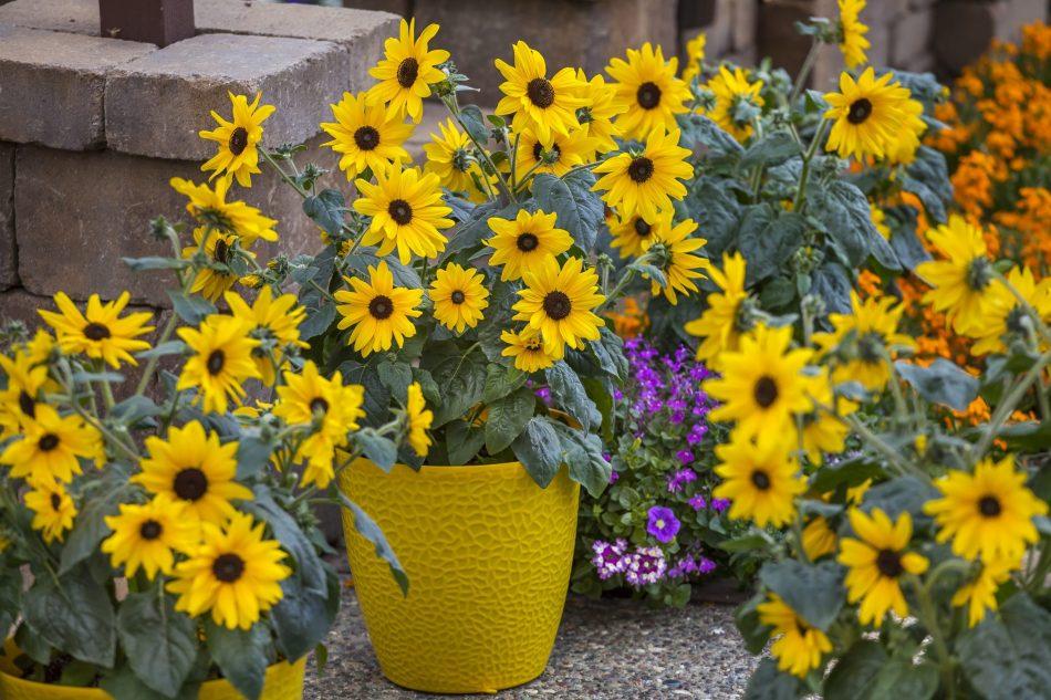 Tournesol Sunfinity™ en pot, multiples petites fleurs jaunes.