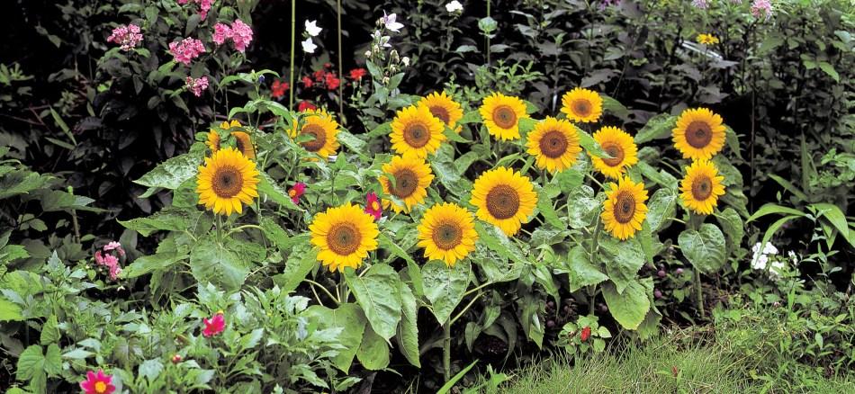 Tournesol 'Big Smile' avec grosses fleurs jaunes sur un plant compact