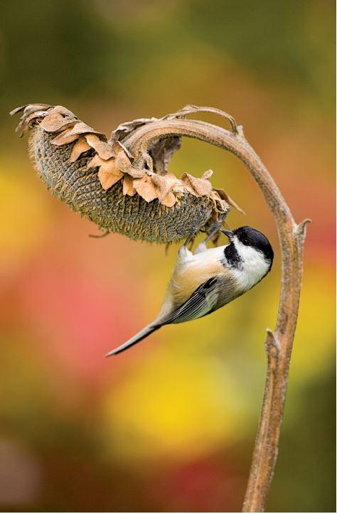 Mésange sur une tête florale de tournesol