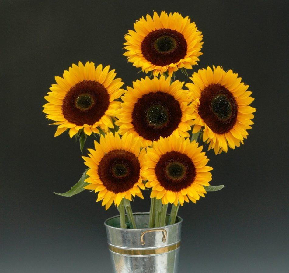 Tournesols Sunrich Orange coupés dans un vase argenté