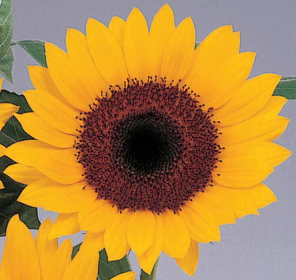 Tournesol  'Sunbright': fleur jaune, disque brun