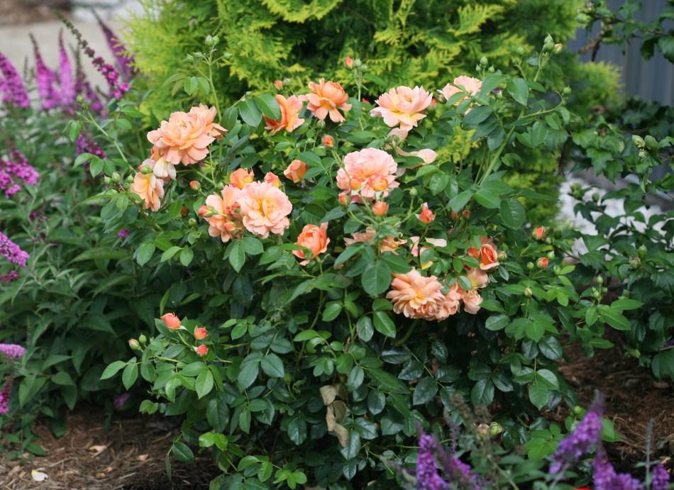 Plante de rosier d'At Last (fleurs orange) dans un parterre de fleurs.