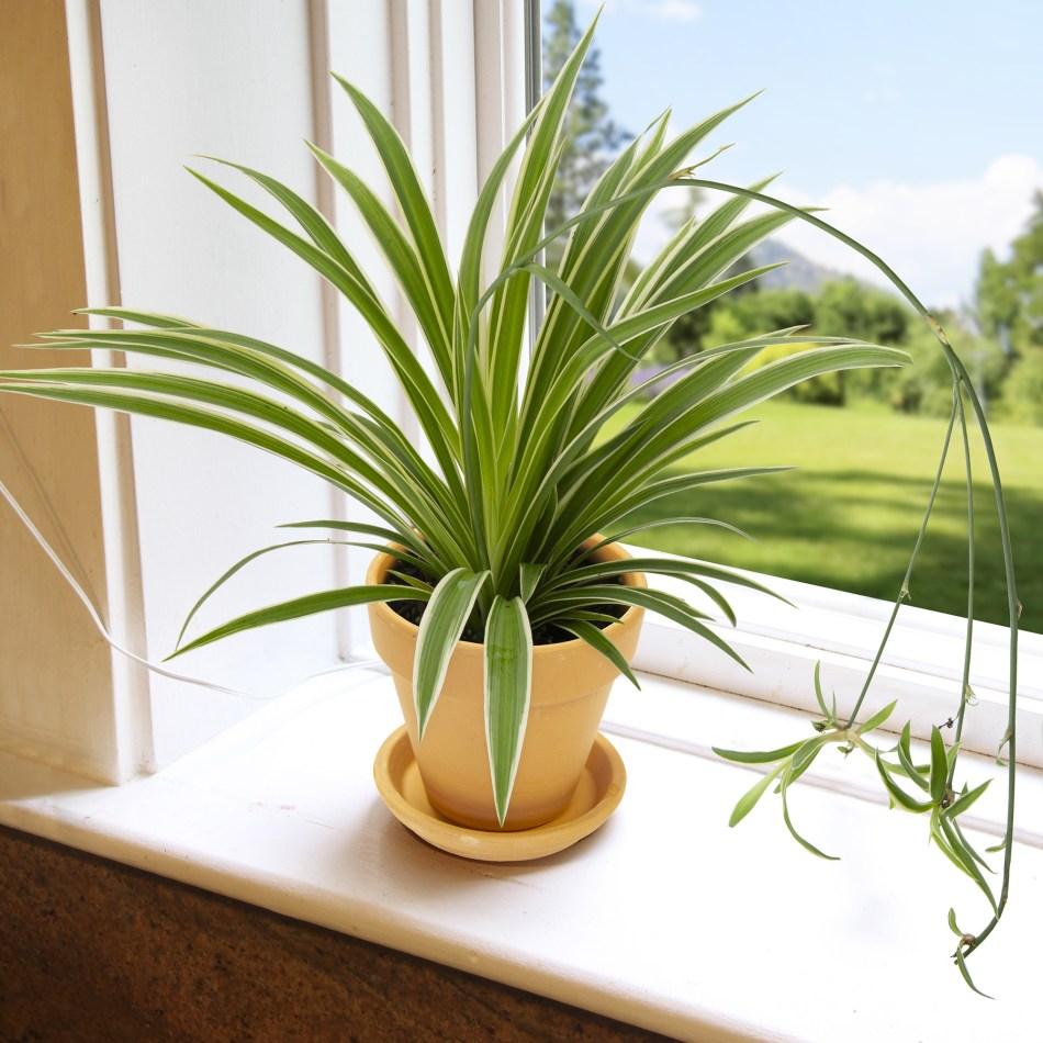 Plante araignée sur le rebord d'une fenêtre, quelques bébés