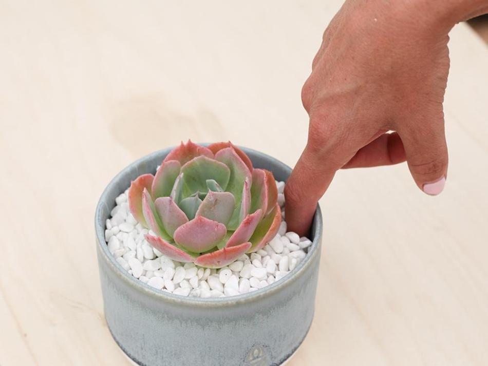 Doigt inséré dans le pot d'un echevéria rose et bleu. Du gravier blanc recouvre le sol.